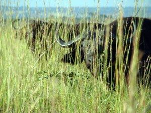 water buffaloes Uganda safari