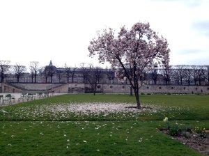 blossom tree Tuileries Paris