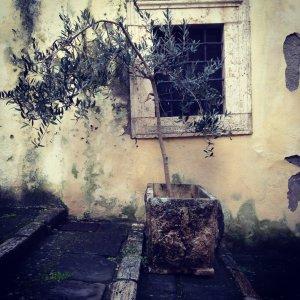potted olive tree Pitigliano Tuscany Italy